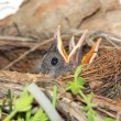 Baby birds in nest with mouths open — Stock Photo #55326937