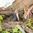 Baby birds in nest with mouths open — Stock Photo #55328121
