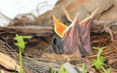 Baby birds in nest with mouths open — Stock Photo