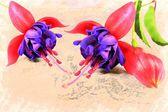 紫色的女婴花 — 图库照片