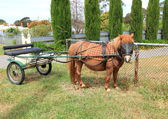 Shetland pony with buggy — Stock Photo