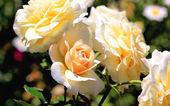 Beautiful apricot coloured roses — Stock Photo