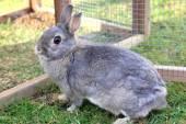 Grey baby rabbit — Stock Photo