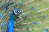 Peacock crowing — Stock Photo