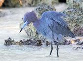 Little blue heron — Stock Photo