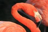 Flamingo kıvrımlı boyun — Stok fotoğraf