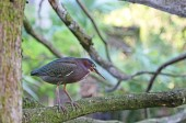 Green Heron on tree — Stock Photo