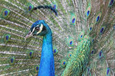 Peacock head on its own tail's background — Стоковое фото