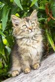 Fluffy gray kitten — Stock Photo