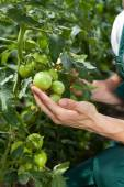 Small green tomatoes — Stock Photo