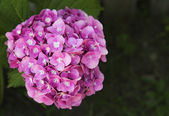 Beautiful pink hydrangea — Foto de Stock