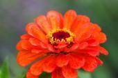 Bright orange garden zinnia — Stock Photo