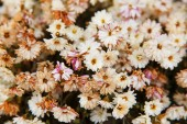 Background from a lot of flowers of white chrysanthemums — Stock Photo