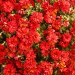 Background from a lot of flowers of red chrysanthemums — Stock Photo #60348305