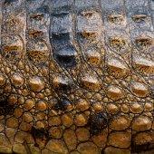 Krokodýlí kůže — Stock fotografie