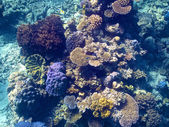 Coral in the Great Barrier Reef in Australia — Fotografia Stock