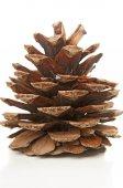 Fir cone closeup — Stock Photo