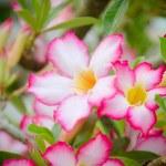 Pink Desert Rose or Impala Lily or Mock Azalea flower — Stock Photo #68538221