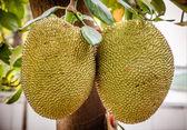 Jackfruit na stromě — Stock fotografie