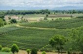 Tea plantations in the north of Thailand. — Stock Photo
