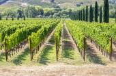 Vineyard in the hilly Napa Valley area — Stock Photo