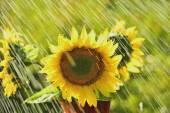 Summer rain and sunflower — Stock Photo