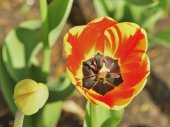 Tulips in the park — Stock Photo