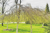 Spring awakening dwarf birches — Stock fotografie