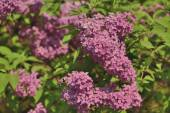 The branch of blooming lilacs — Stock Photo