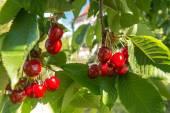 Ciliegie in giardino — Foto Stock