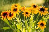Summer rain and flowers of echinacea — Stock Photo