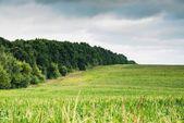 Vista del campo di mais — Foto Stock