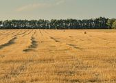 Harvest in a field — Stock Photo