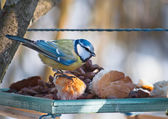 Songbird Blue Tit on bird feeder in the park. — Stock Photo