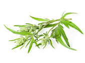 Flowers and leaves of wormwood isolated on white. — Stock Photo