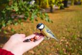 Tit eat seeds with hands in autumn park. — Stock Photo