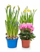 Daffodils, hyacinths and cyclamen in flower pots on white. — Stock Photo