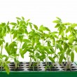 Organic tomato seedlings in a container with soil on white backg — Stock Photo #56459497