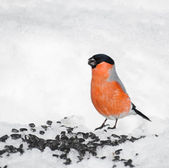 Bullfinch eating sunflower seeds in the snow. Caring for birds i — Zdjęcie stockowe