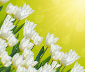 White tulips on blurred background with bokeh. Spring card with  — Stock Photo
