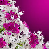Bright carnation flowers on a dark background. — Stockfoto