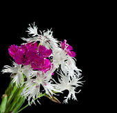 Bright carnation flowers on a black background. — Foto Stock