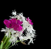 Bright carnation flowers on a black background. — ストック写真