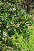 Aronia berries on the bushes in the garden. — Stockfoto