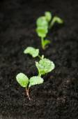 Green radish sprouts grow in the ground — Stock Photo