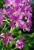 Willow-herb grows outdoors close up  — Stock Photo