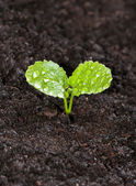 Young green sprout of radish in the ground with dew drops close  — Stock Photo