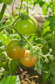 Tomatoes in the greenhouse with the ripening fruits The reddenin — Stock Photo