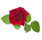 Beautiful red rose with leaves closeup on white — Stock Photo