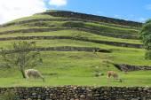 Llamas at Pumapungo Park in Cuenca, Ecuador — Stock Photo
